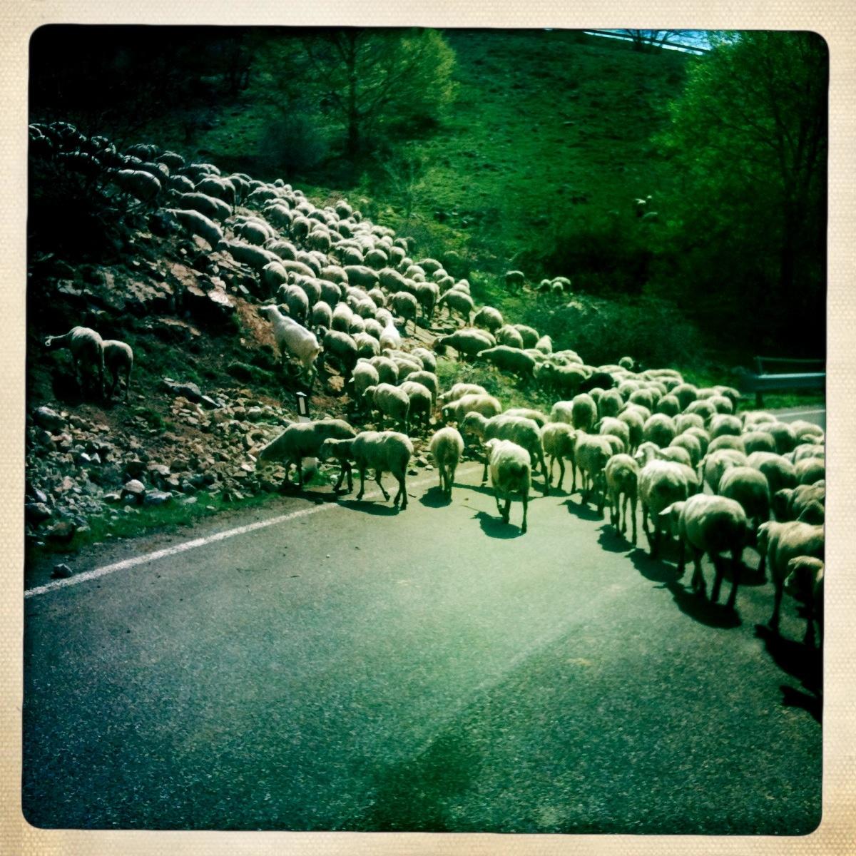 pecore in abruzzo.jpg